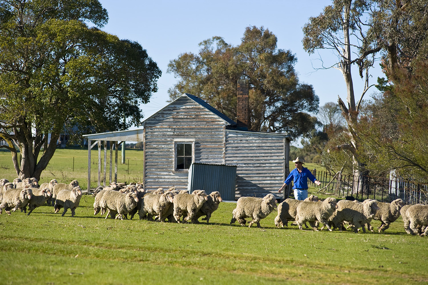 image of AARONTAIT COPYRIGHTED 2014 371 MUSTER RURAL PHOTOGRAPHER FARM LIFE AGRICULTURE WOOL BEEF STOCKMAN MUSTER CATTLE FARM AUSTRALIAN FLOCK SHEEP