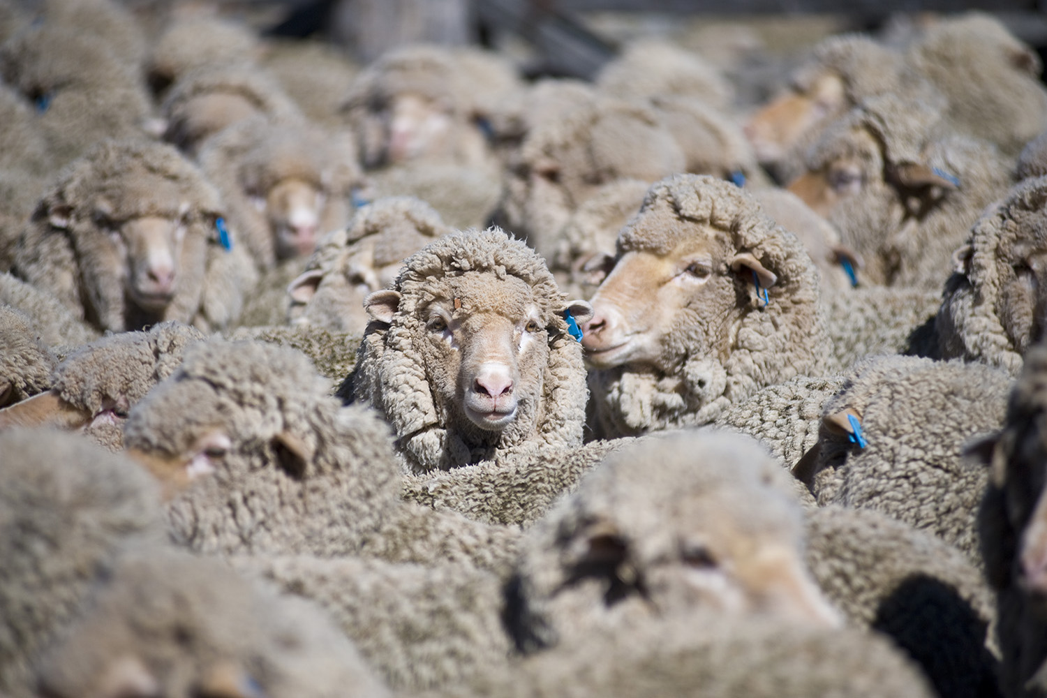 image of AARONTAIT COPYRIGHTED 2014 384 RURAL PHOTOGRAPHER FARM LIFE AGRICULTURE WOOL BEEF STOCKMAN MUSTER CATTLE FARM AUSTRALIAN SHEEP FLOCK