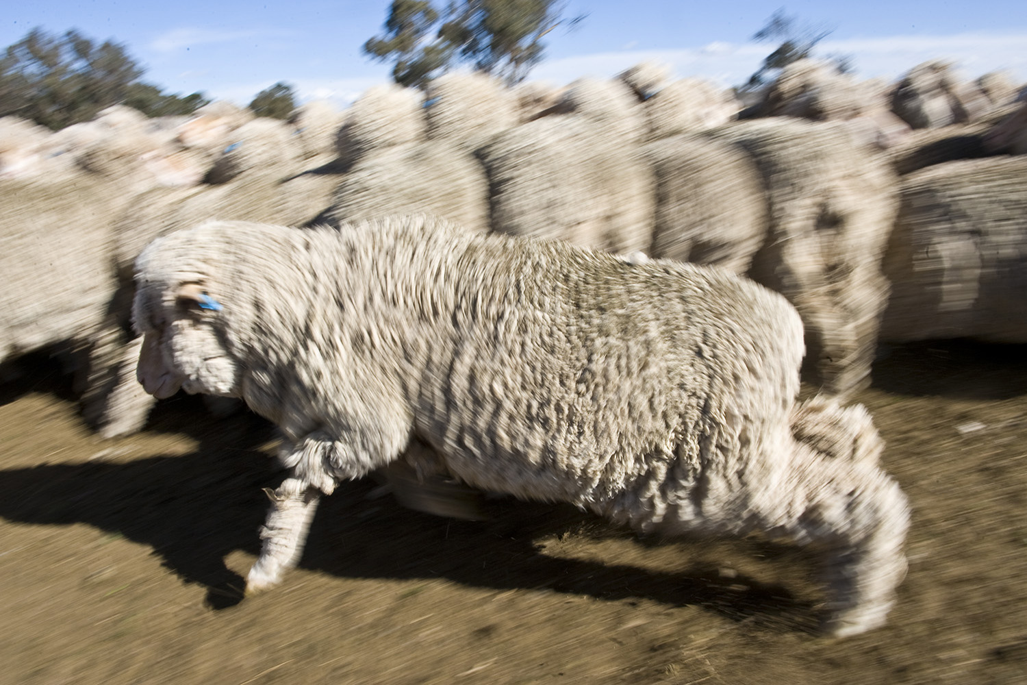 image of AARONTAIT COPYRIGHTED 2014 386 RURAL PHOTOGRAPHER FARM LIFE AGRICULTURE WOOL BEEF STOCKMAN MUSTER CATTLE FARM AUSTRALIAN  SHEEP RAM
