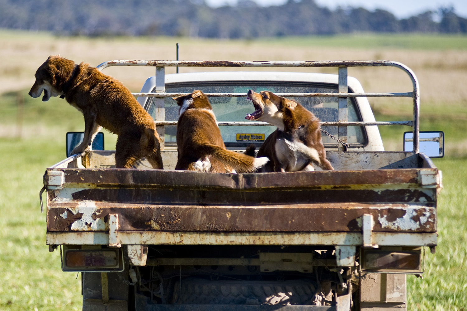 image of AARONTAIT COPYRIGHTED 2014 387 RURAL PHOTOGRAPHER FARM LIFE AGRICULTURE WOOL BEEF STOCKMAN MUSTER CATTLE FARM AUSTRALIAN CATTLE DOG CRANKY