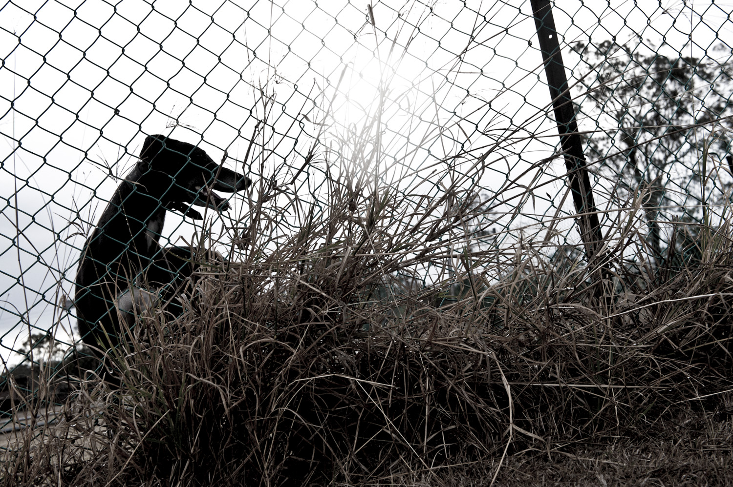 image of AARONTAIT COPYRIGHTED 2014 430 DOCUMENTARY PHOTOGRAPHER REPORTAGE LIFE SPORT DOGS GREYHOUND RACING STORY HUMAN DISHLICKER DISH LICKER BLACK DOG FENCE BLACKDOG