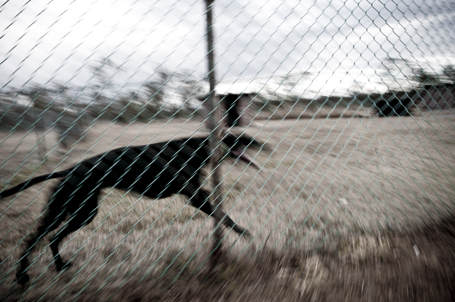 image of AARONTAIT COPYRIGHTED 2014 431 DOCUMENTARY PHOTOGRAPHER REPORTAGE LIFE SPORT DOGS GREYHOUND RACING STORY HUMAN DISHLICKER DISH LICKER BLACKDOG